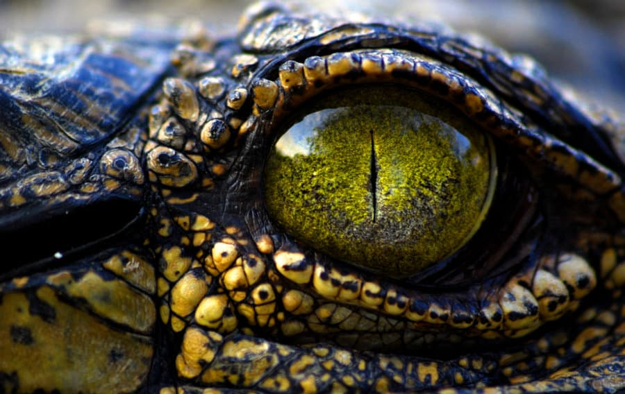 10 Incredible Facts About Crocodile Eyes - Africa Freak