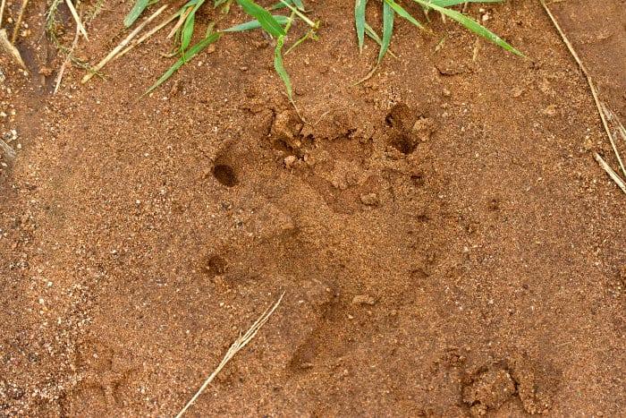 Crocodile footprint near camp, Ruaha