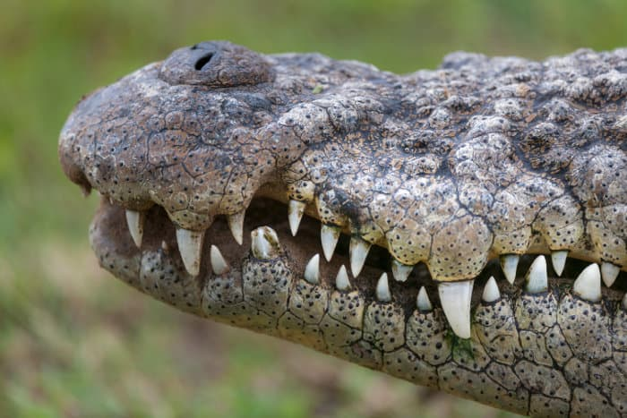 Crocodile snout, focusing on teeth and nostrils