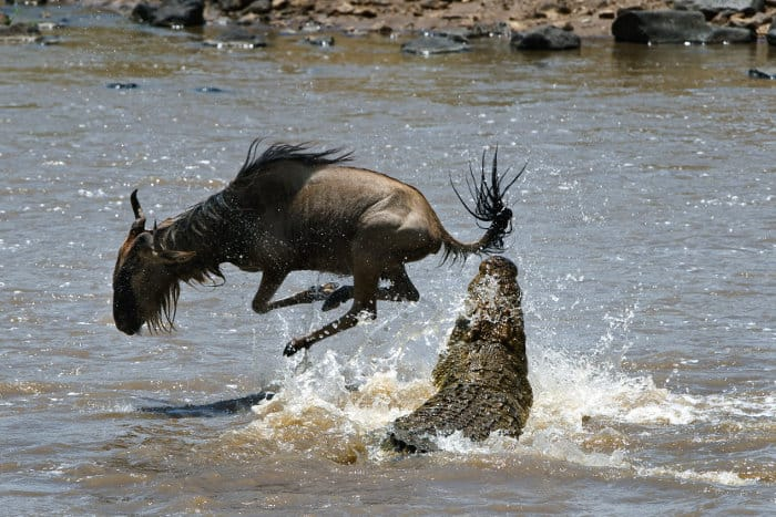 Crocodile vs wildebeest in the Mara river