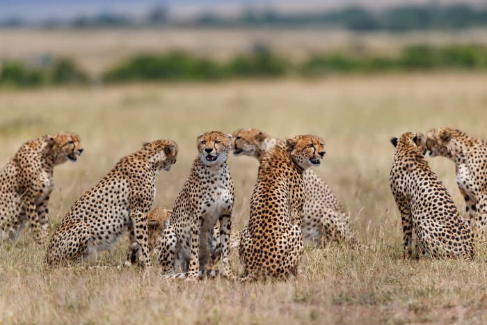 Seven males and one female cheetah in the Masai Mara, during the mating season