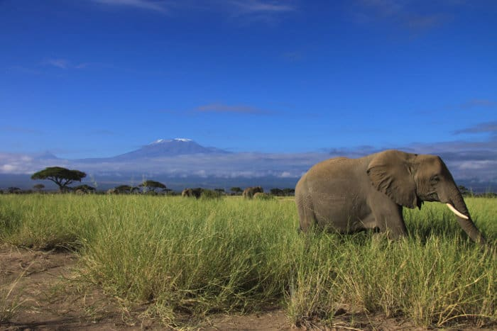 Herd of elephants eating long grass, with Mount Kilimanjaro in the background