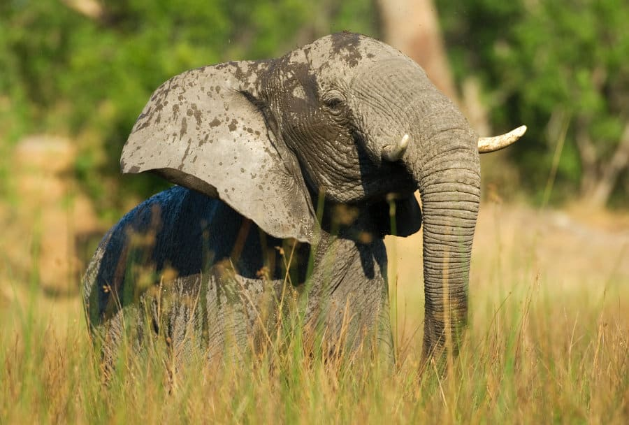 What is elephant grass?A world wonder!