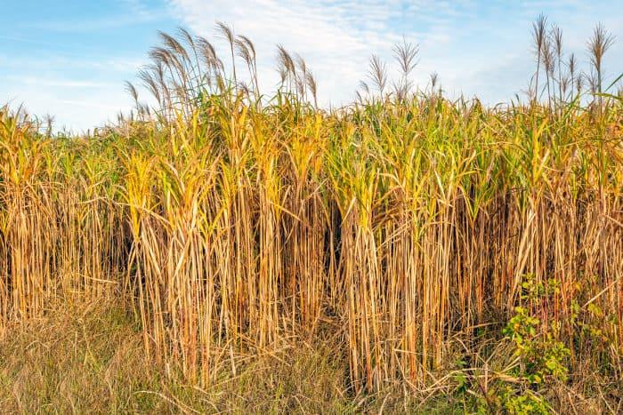 Elephant grass in a Dutch field, used as a biofuel