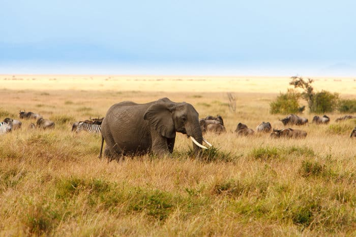 Zebra, wildebeest and a lone elephant feeding in the long grass
