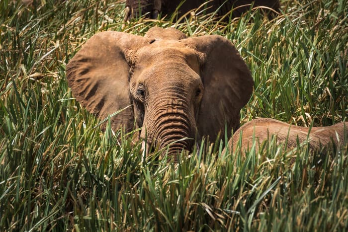 Male elephant peering out of 'elephant grass', in Lewa Wildlife Conservancy