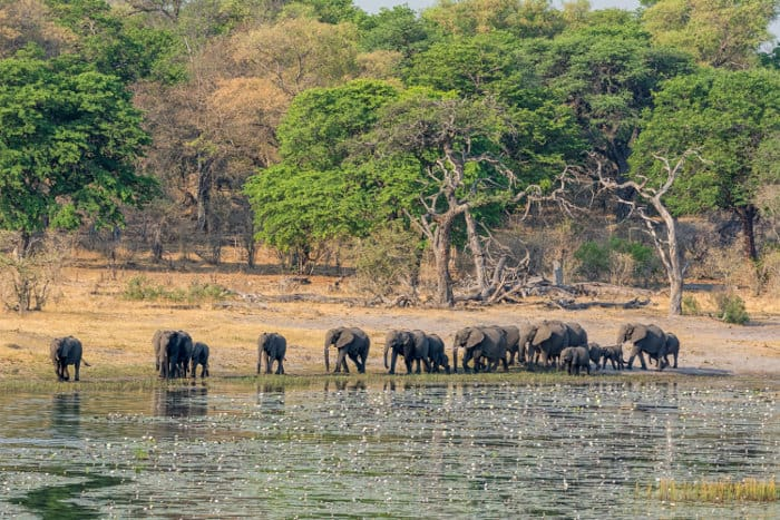 Elephant herd comes down for a drink in Namibia's Caprivi Strip