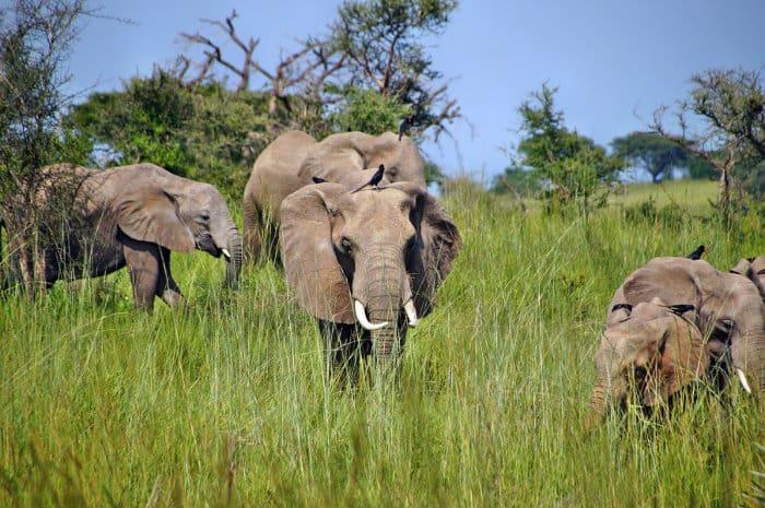 Herd of elephants in long green grass, Murchison