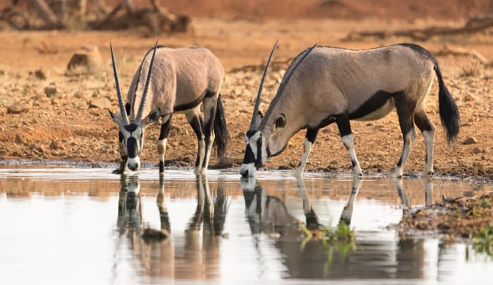 Gemsbok drinking at a local waterhole in Namibia