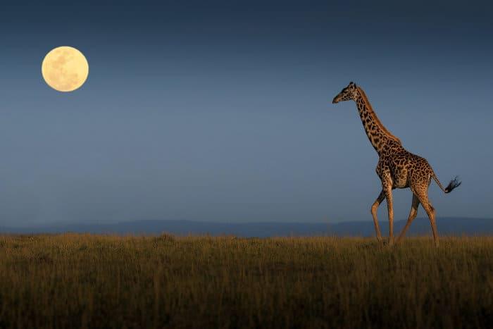 Giraffe walking towards the full moon, Masai Mara plains, Kenya