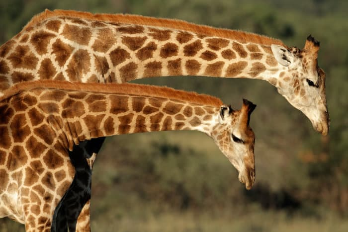 Loving 'neck' interaction between two giraffes