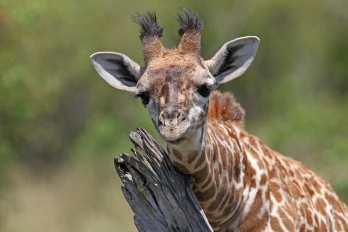 Young giraffe scratching against a tree