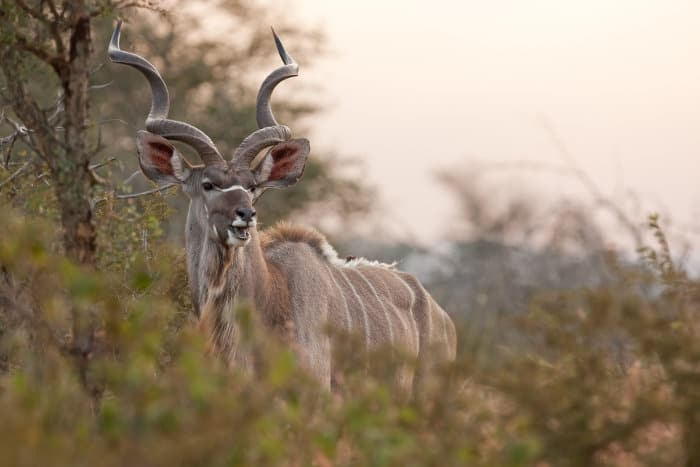 Majestic greater kudu with its long spiralling horns