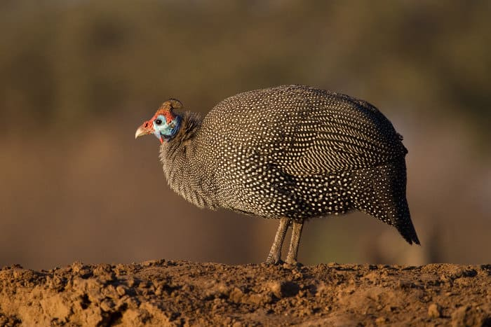 Helmeted guineafowl chilling in the sun
