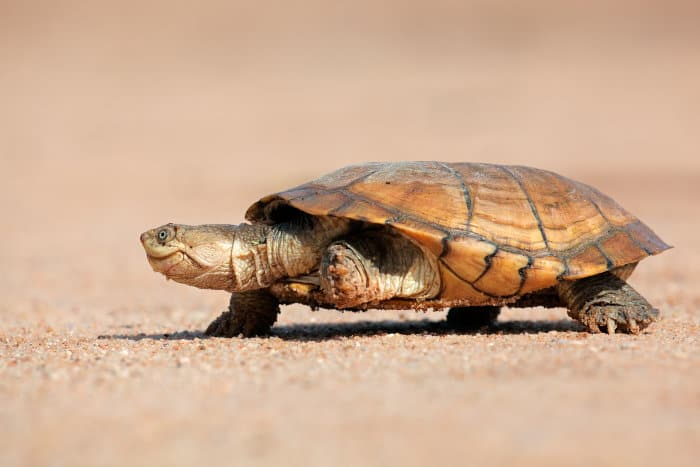 Helmeted terrapin walking on sandy ground, South Africa
