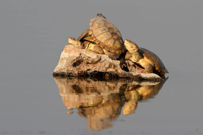African helmeted turtles sunbathing on a rock
