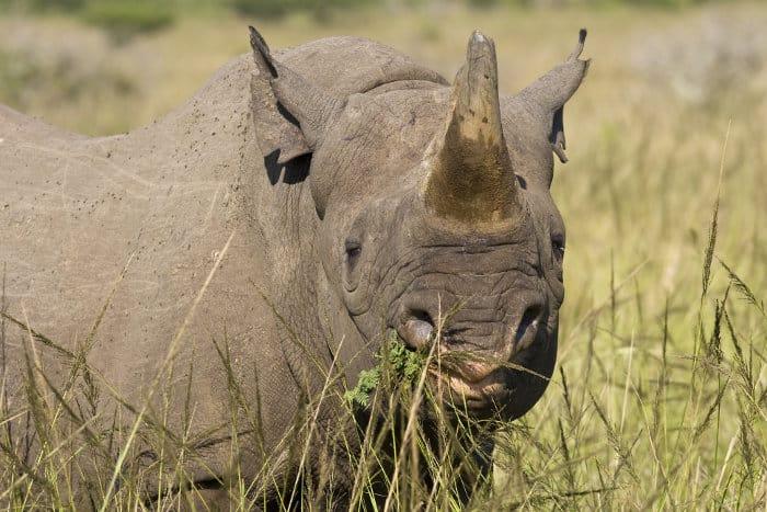 Hook-lipped rhinoceros (black rhino) eating some twigs