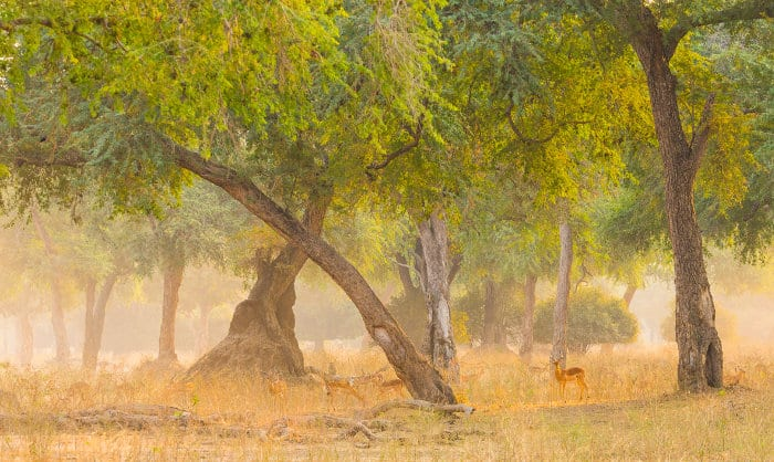 Herd of impala in forested area, Mana Pools National Park