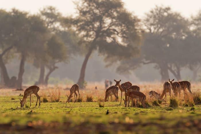 Herd of impala feeding on freshly grown grass