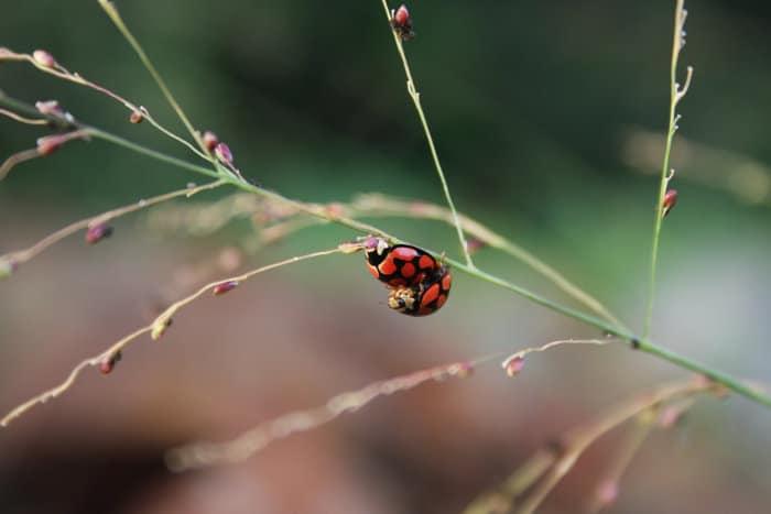 Ladybirds mating on a grass stem