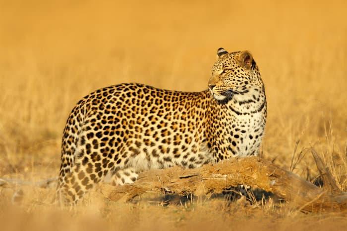 African leopard in golden light, Hwange