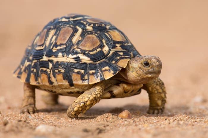 Small leopard tortoise crosses a sandy road