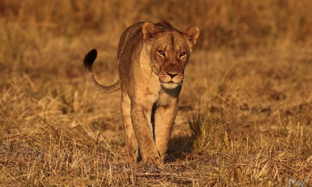 Tracking the queens of Zambezi National Park