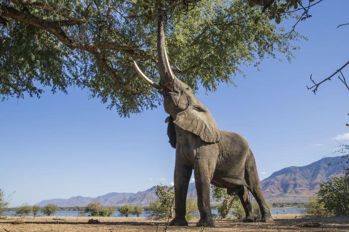 Large male elephant feeding from a tree in Mana Pools, Zimbabwe