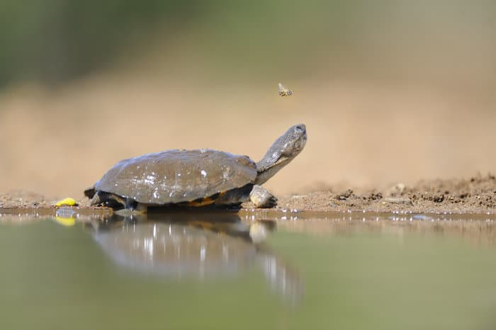 Marsh terrapin - also known as the African side-necked turtle - with a bee flying over its head