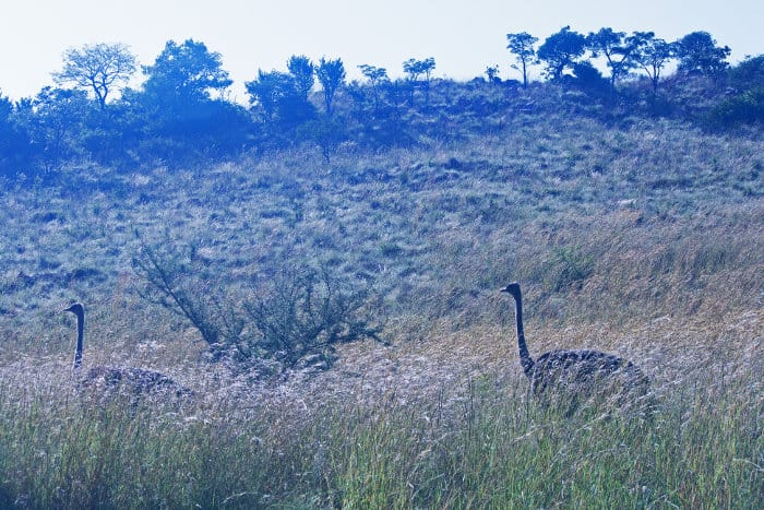 Two female ostriches disappear into the long grass