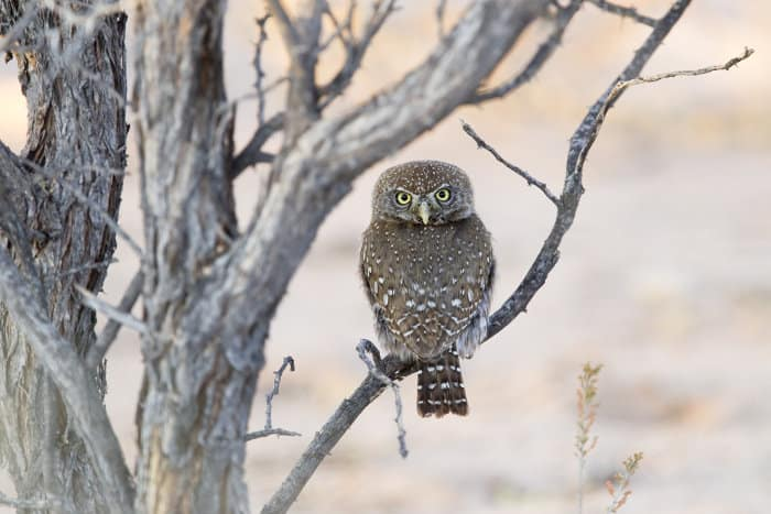 Pearl-spotted owlet perched on a branch, Kalahari