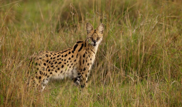 Wild serval in long grass, staring at the camera