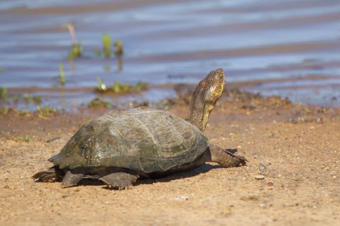 African helmeted turtle in its natural habitat, Kruger National Park