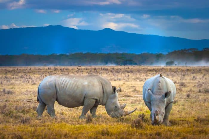 White rhinos grazing in Lake Nakuru National Park