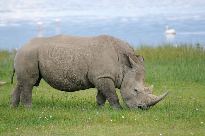 White rhinoceros grazing beside Lake Nakuru, Kenya