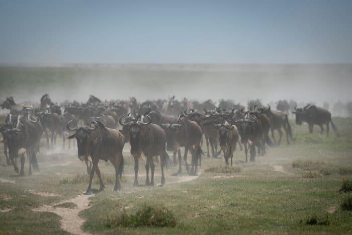 Herd of wildebeest in cloud of dust, Ndutu area