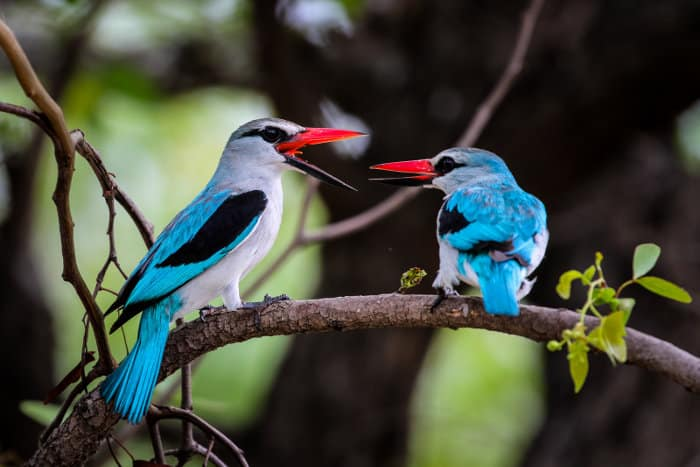 Pair of woodland kingfishers having a chat, Kruger