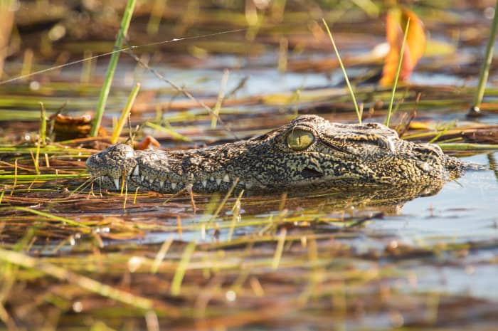 Young Nile crocodile in the Okavango Delta, Botswana