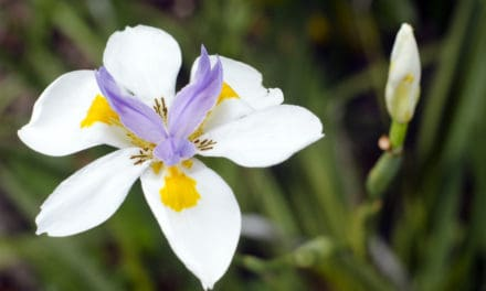 African iris – The jewel of the savannah