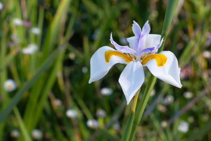 African iris in its natural environment