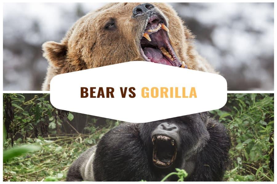 Bear vs Gorilla – Battle of the endangered giants