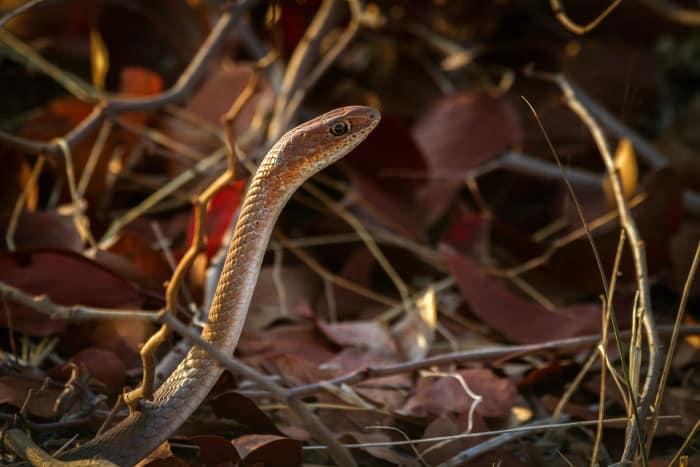 Cape house snake photographed in Kruger National Park