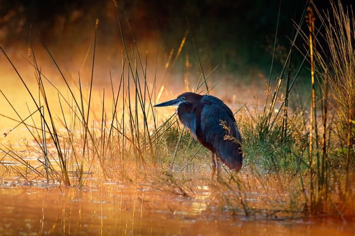 Goliath heron at sunrise, Kruger park