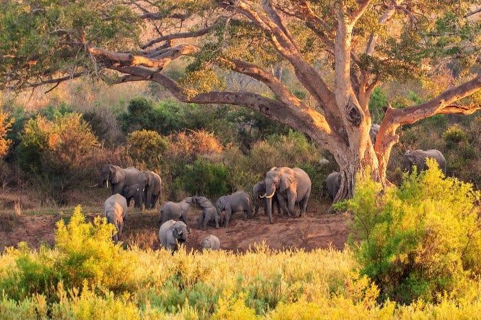 Herd of elephants under a tree, Kruger National Park