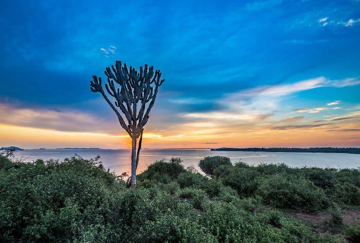 Euphorbia at sunset, Lake Victoria