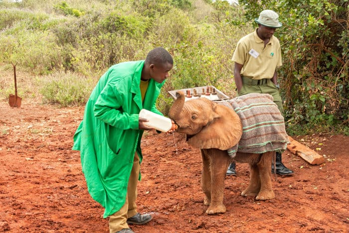 This orphaned elephant is wrapped up in a blanket to keep it warm and snug