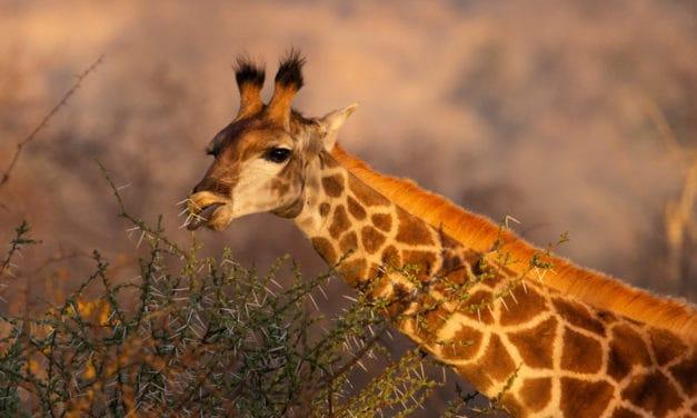 What do giraffes eat? The diet of the tallest animal on Earth