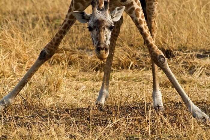 Giraffes will occasionally feed on grass to supplement their diet, that predominantly consists of acacia leaves