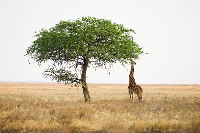 Lone male giraffe extends its neck to reach the leaves from a tall tree, in the Serengeti