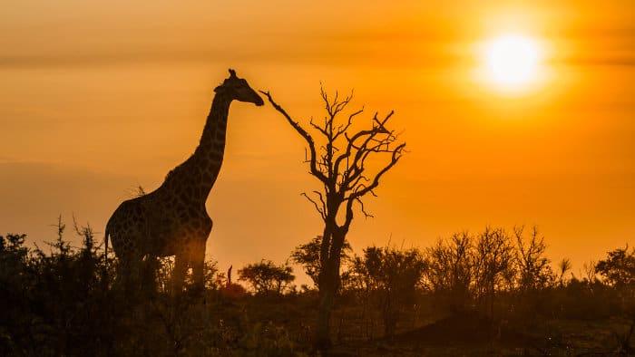 Lone giraffe at dusk, Kruger National Park
